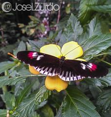 Mariposassss (JoseleZurdo) Tags: mariposa love faunia madrid jazmin