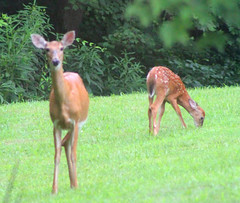 IMG_1205 (sally_byler) Tags: deer babies fawns ohio summer nature outdoors country field grass trees animals twins