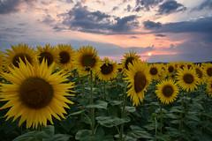 Soleils au soleil couchant (Excalibur67) Tags: nikon d750 sigma art globalvision 24105f4dgoshsma paysage landscape coucherdesoleil tournesol sunflower ciel cloud sky nature nuages flowers fleurs sunset