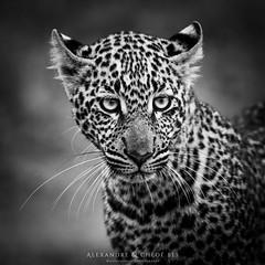 Leopard (Waitandshoot - Alexandre & Chloé Bès) Tags: afrique africa safari bird mammifère mammal lion leopard rhino oiseaux canon sigma kenya masai hyene pelouse animal champ macro black white crowned zebra eagle elephant iso