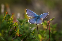 Idas- Bläuling (Idas blue) (tzim76) Tags: idas bläuling blau plebejus blue schmetterlinge makro macro wildlife nature outdoor stack tirol kaunertal alpen