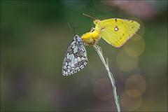 Mariposas (Jose Cantorna) Tags: mariposas butterfly nikon d610 macro insecto naturaleza nature