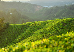 8H1_0270242 (kofatan (SS Tan) Tan Seow Shee) Tags: malaysia pahang cameronhighland copthornehotelsungeipalasbohplantation bharatteaplantation robinsonfall smokehouse brinchang tanahrata kofatan