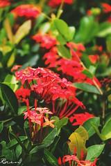 @rain- photography  @Abdulla al rasel- photography (july 2018) (Abdulla Al Rasel - Photography) Tags: flower flowerlove chittagong bangladesh nature naturaplace travel loveyplace