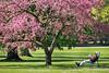 leisure hour (Sabinche) Tags: spring tree cherryblossom man panasonic lumix dmcfz1000 sabinche