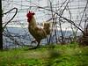 Cockerel, Belle Vue Lane, Upper Cwmbran 23 April 2018 (Cold War Warrior) Tags: chicken cockerel cwmbran