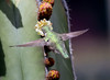 Hovercraft -- Anna's Hummingbird -- Female (Calypte anna); Catalina, AZ [Lou Feltz] (deserttoad) Tags: wildlife nature arizona behavior flight desert bird wildbird hummingbird