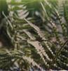 (mari-ann curtis) Tags: sx70 polaroid film colour light fern leaves lines sunshine shadows polaroidoriginals impossibleproject polaroidweek green roidweek spring backlit sunlight hazy