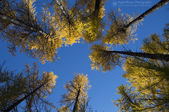 The Golden Woods (right2roam) Tags: washington state northwest inland tamarack larch tree forest woods yellow autumn fall mtspokane mountspokane spokane statepark larixoccidentalis golden right2roam