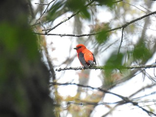 Scarlet Tanager (Explored #215)