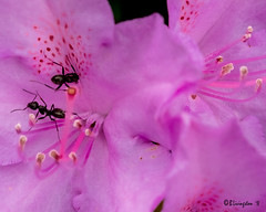 Ants on Pink (Bruce Livingston) Tags: rhododendron closeup ourgarden asbury nj newjersey warrencounty fujimacroxf80mmf28 fujifilmxpro2