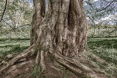 Tree (Lucien Schilling) Tags: grass spring landscape nature big trunk bark descriptive wood outdoors ancient green old trees summer plant root tree leaf forest park leaves konstanz environment outdoor woods mainau branch badenwürttemberg germany de