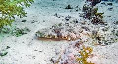 on the lurk (werner boehm *) Tags: wernerboehm krokodilfisch crocodile fish underwater onterasser