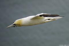 gliding (blackfox wildlife and nature imaging) Tags: panasonicg80 leica100400 gannet bif bemptoncliffs rspb eastyorkshire seabirds