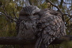 Tawny Frogmouths (Luke6876) Tags: tawnyfrogmouth frogmouth bird animal wildlife australianwildlife