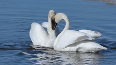Meeting of minds (Hammerchewer) Tags: trumpeterswans swan bird waterfowl wildlife outdoor yellowstone