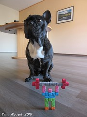 Mr Papercube porte des poids ! (Origaiku) Tags: origami sonobe cube modulaire modular weightlifter bouledogue