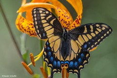 Brilliant colors in nature (Photosuze) Tags: swallowtails aniseswallowtailbutterflies butterflies lilies humboldtlilies insects colorful closeup pollination animals nature wildlife papiliozelicaon liliumhumboldtii