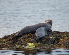 P1020185.jpg (dan.bailey1000) Tags: garnishisland ireland westcork wildlife seal