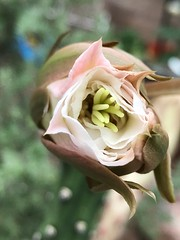 Looking At Me (Chic Bee) Tags: southwesternusa americansouthwest arizona tucson sonorandesert alhambra 4pm beginningtoopen flowerbuds nightbloomingcereus blooming starting opening cactus bud
