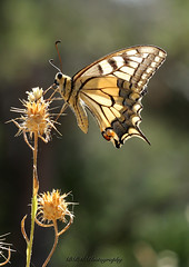 Magnifique modèle (BPM.Photography) Tags: photooftheday papillon macrophotography macro naturephotography macrodreams macrocaptures photosrécentes picsoftheday beautifulword bokeh butterfly beauty nofilter naturebeauty