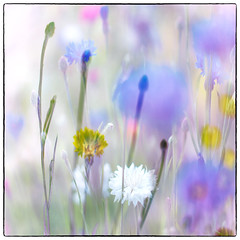 Summer Garden (Krogen) Tags: norge norway norwegen akershus romerike ullensaker jessheim krogen tvisyn mitakonspeedmaster panasoniclumixgx7 f095