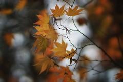 *** (pszcz9) Tags: przyroda nature natura naturaleza liść leaf klon maple jesień autumn drzewo tree bokeh beautifulearth sony a77