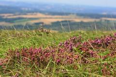 Bruyère au sommet du Ménez Hom (Bretagne, Finistère, France) (bobroy20) Tags: menézhom campagne bretagne france saintnic plomodiern crozon brest douarnenez châteaulin