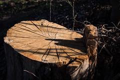 splits (fallsroad) Tags: tulsaoklahoma arkansasriver riversidepark tree stump cracked