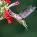 20180718_4199 (JGKphotos) Tags: d500 johnkunze bird birds