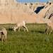 4 Young Bighorn Sheep