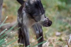 MYates Photography (msjy81) Tags: myates photography nikon d5300 70200mm f4 zsl london zoo 072018 bird monkey alpaca lama lion butterfly penguin giraffe ibis komodo dragon leamur meerkat