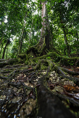 Rooted (Tiomax80) Tags: roots root wood forest rain rainy raining rainforest tree trees rooted green roadtrip wanderlust tiomax travel outdoors outside nature natural reserve park basse terre mamelles maisondelaforet foret lamaisondelaforet walk hike basseterre guadeloupe gwada quebec d610 dslr nikon france tiomax80 dom french flickr flora explore exploration trip hiking traveling