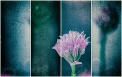 sliced chive (Simon[L]) Tags: chives flower montage textured hss experiment outsidethebox crossingtheline pink dirty boundaries