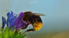 colorful small things of nature (Veitinger) Tags: hd fullhd1080 bumblebee hummel insect insekt farbe farben color colors bunt colorful pentacon blume blumen flower flowers natur nature wiese meadow veitinger sony