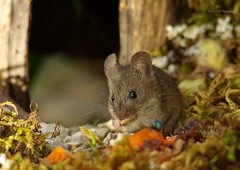 wild house mouse in a log pile house (1) (Simon Dell Photography) Tags: house mouse log pile door coconut mossy moss logs wood stack garden wild wildlife cute funny detail close up awesome viral ears eyes george mini mildred sheffield s12 hackenthorpe decorated summer images mice two mouses animals rodents