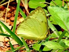 Lemon Emigrant (d_taron) Tags: india karnataka butterflies pieridae coliadinae catopsilia catopsiliapyranthe