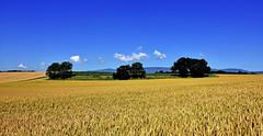 Une récolte prometteuse (Diegojack) Tags: gollion vaud suisse paysages d7200 nikon nikonpassion campagne panotama blé récolte senarclens groupenuagesetciel
