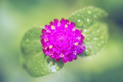 圓圓花 (Curitis Chen) Tags: sony sonyalpha sonya7ii flower