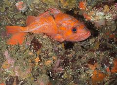 ML061673.jpg (alwayslaurenj) Tags: montereycarmel pointlobos reefcheck vcr vermillianrockfish