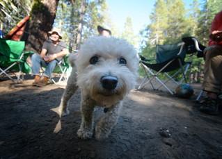 Campground Dog