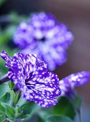 Petunia Night Sky (haberlea) Tags: garden petunianightsky perunia flowers nature mygarden plants blue spots spotty