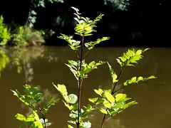 Denn Farm, Shropshire, UK (Andy Sut) Tags: nature campsite dennfarm shropshire uk england leaves