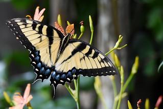 Back to butterflies DSC_7056