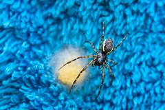 Spinne (shnyder@) Tags: spider spinne natur slta65v macro tamron 60mmf2 nature luminar sony outdoor garten garden