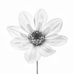White on white (Funchye) Tags: monochrome 105mm d610 nikon whiteonwhite blomst flower georgine dahlia
