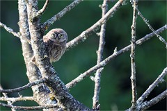 Chevêche d'Athéna - Athéna Noctua - Little Owl (ChantCarr) Tags: chevêchedathéna nikond750 nikon200500 libreetsauvage virelade wildlife naturewatcher