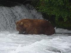 DSC07560 (jrucker94) Tags: alaska katmai katmainationalpark nationalpark bear bears grizzly grizzlybear brooksriver nature outdoors