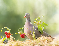 wood Pigeon standing with strawberry plants (Geert Weggen) Tags: beauty blossom blue closeup colorimage delphinium extremecloseup field flower flowerhead flowerbed fragility greencolor growth herb leaf multicolored nature nopeople outdoors perennial petal photography plant publicpark scenicsnature season spice springtime summer vertical vibrantcolor autumn animalwildlife animalsinthewild winter woodland mammal garden split spread yoga reaching pigeon dove bird wood square bispgården jämtland sweden geert weggen ragunda hardeko