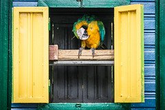 Coco (Tiomax80) Tags: animal pet wildlife bird colorful framed shelter parrot beak blinders wooden house sheltered shed yellow green itchy nature deshaies guadeloupe jardinbotanique botanicalgarden basseterre nikon d610 tiomax tiomax80 france dom french speak speaking